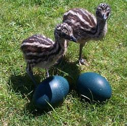 Emu Eggs for Incubating (Seasonal November thru March)
