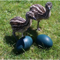 Emu Eggs for Incubating (Seasonal November thru March)